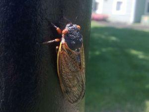 Cicada1